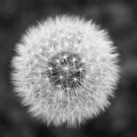 black-and-white-flower-dandelion-minimal-21323